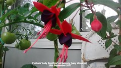 Fuchsia 'Lady Boothby' on balcony (Close up) 26th September 2017