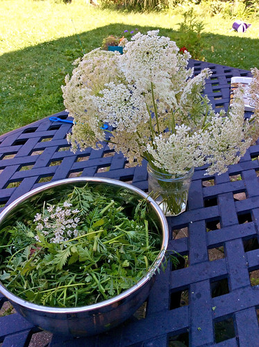 Ontario Queen Anne's Lace prepared by irieknit for dye extraction