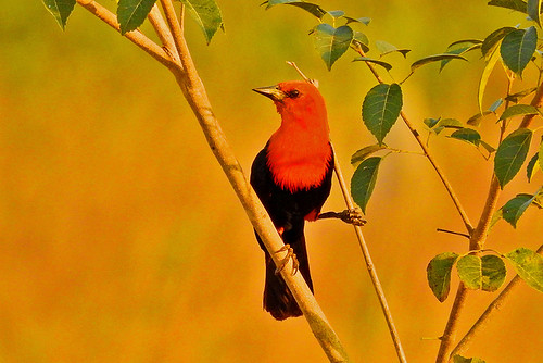 Mato Grosso: Scarlet-headed Blackbird 1