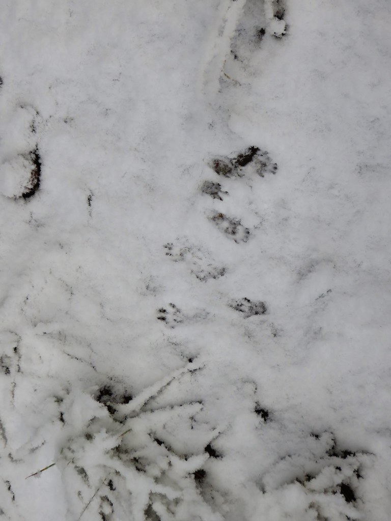 Paw prints along the Senoj Lake Trail