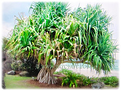 Pandanus tectorius (Tahitian Screwpine, Thatch/Textile Screwpine, Tourist Pineapple, Hala, Screw Pine, Mengkuang Laut/Duri in Malay) loves to grow in coastal regions, mangroves margins and beaches, 13 Oct 2017