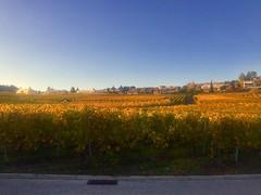 Vignobles dorés
