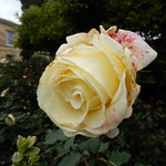 Roses of Oxford