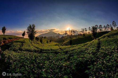 scenicindonesia indonesia tea plantation sunset sukawana lembang horizon