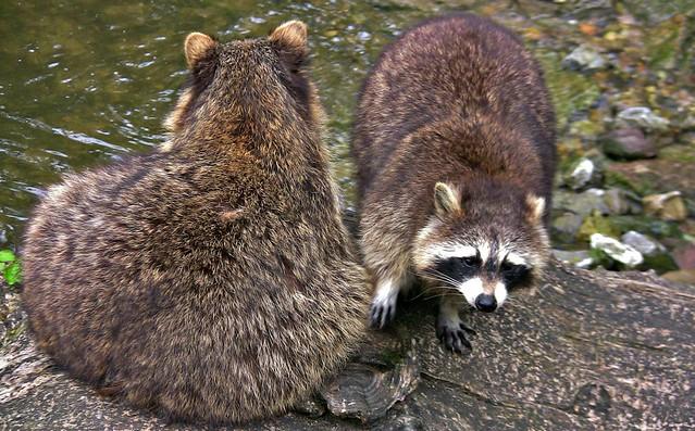 Wildpark ; Waschbären 75570/9036