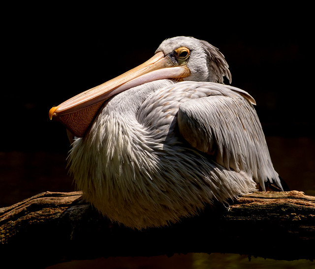 JWL2426  Pelican..