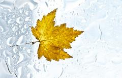 Wet Leaf Wet Glass