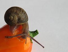 Snail Chomping