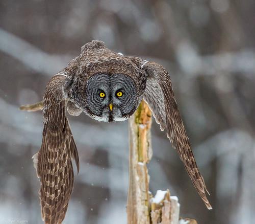 lescèdres québec canada ca greatgrayowl greatgreyowl grayowl greyowl owl phantomofthenorth cinereousowl spectralowl laplandowl spruceowl beardedowl sootyowl strixnebulosa strix strigidae typicalowl trueowl montreal nigelje