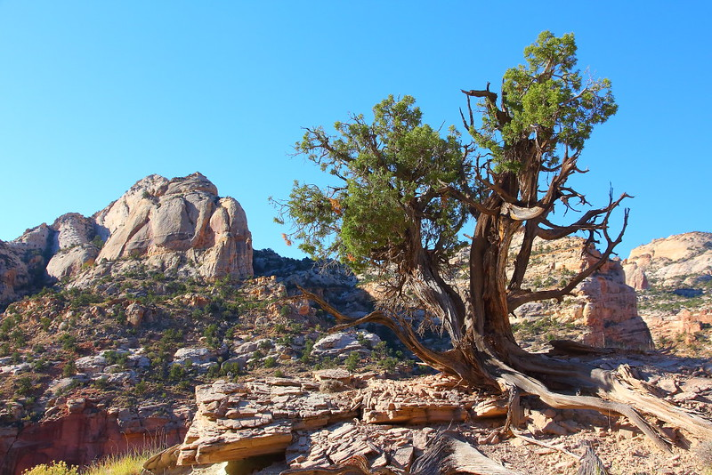 IMG_7530 Utah Juniper on Golden Throne Trail