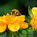 Autumn Bumble Bee