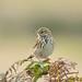 Meadow Pipit 500_2857.jpg