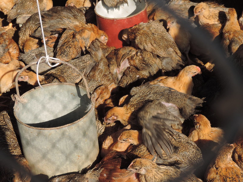 Chickens live in crammed conditions on a farm in Vietnam