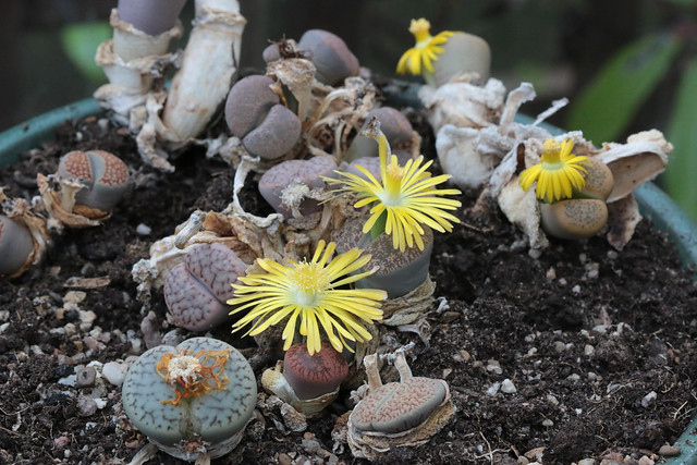 Lithops in bloom