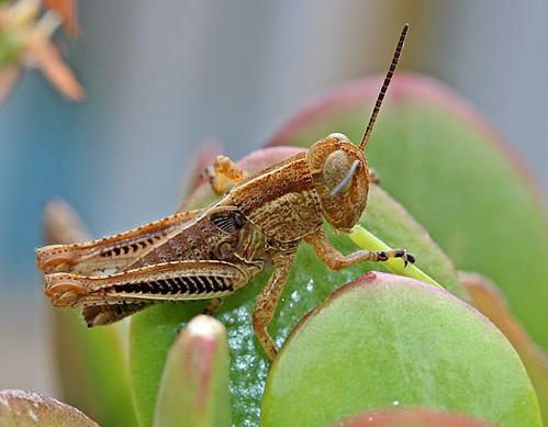 Grasshopper Melanoplus sp. (Orthoptera: Acrididae)
