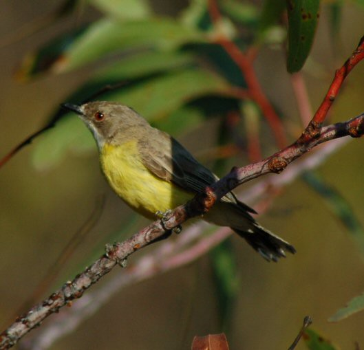 White-throated Gerygone jpg