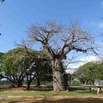 Afrikanischer Affenbrotbaum , NGID2128710767