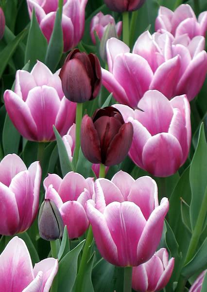 Tulips.jpg-original
