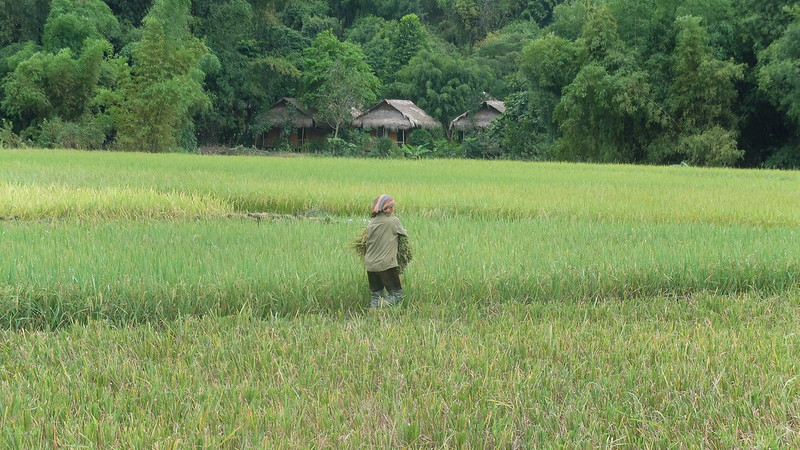 Mujer recogiendo arroz