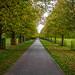 Lime Avenue, Bushy Park