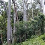 Corymbia citriodora stand