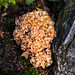 Cauliflower Fungus