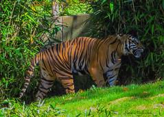 Stately Tiger_6260