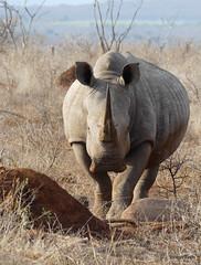 Walking with White Rhino, Mkhaya (9)