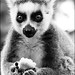 Down in lemur woods