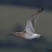 curlew 6 2017 in flight