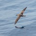 Great Shearwater by Phil Gower Bird Photography