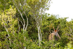 Eland standing and hiding between the branches