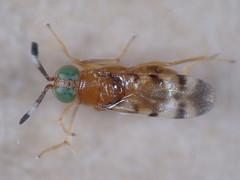 Microterys nietneri