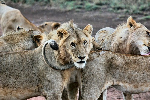 Lions. From Africa Overland Tours: What You Need to Know