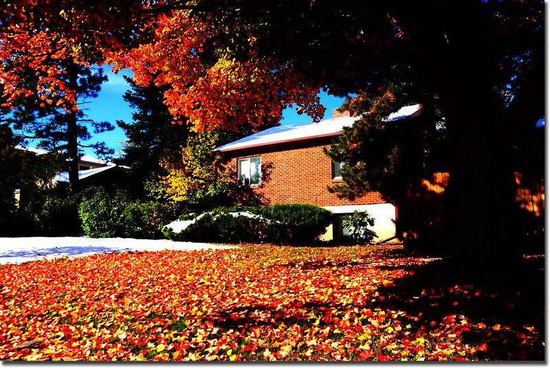 2017 Maple in Fall, Boulder, Colorado  (4)