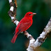 Belize: Summer Tanager by spiderhunters