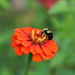 Red Zinnia With Bee