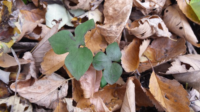 two hepatica leaves poking up out of tree leaf litter