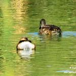 Aves en las lagunas de La Guardia (Toledo). 28/29-10-2017