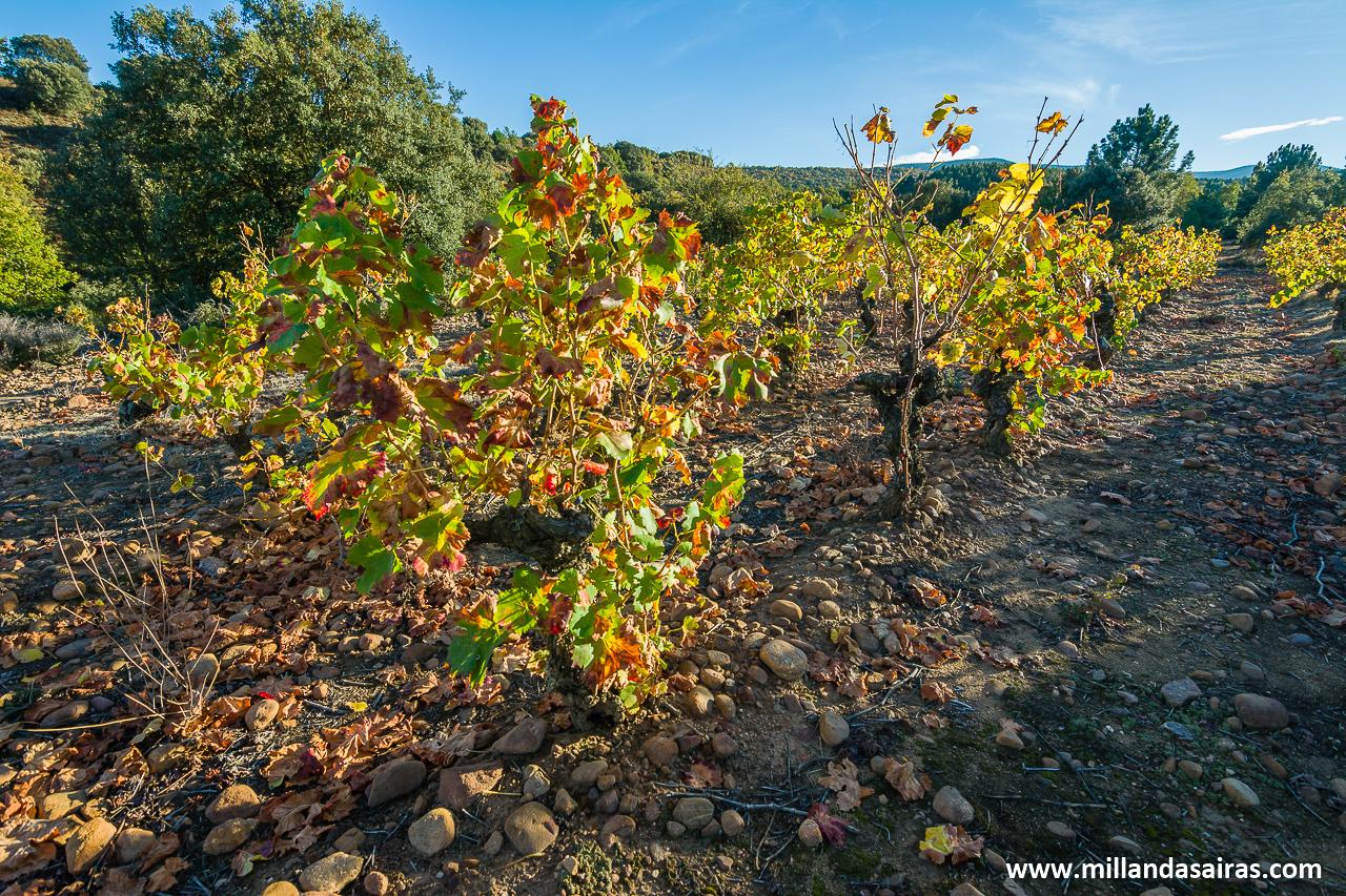 Bodega Ojuel - Vino supurao