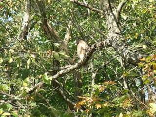 Photo: Red-shouldered Hawk © Penny O'Connor