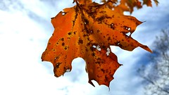 Autumn Leaf in the Sky