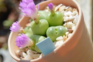 DSC_6551 Conophytum pillansii  コノフィツム ピランシー 翠光玉