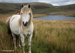 Welsh wild ponies (1 of 3).jpg