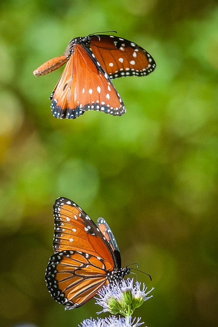 Queen butterflies