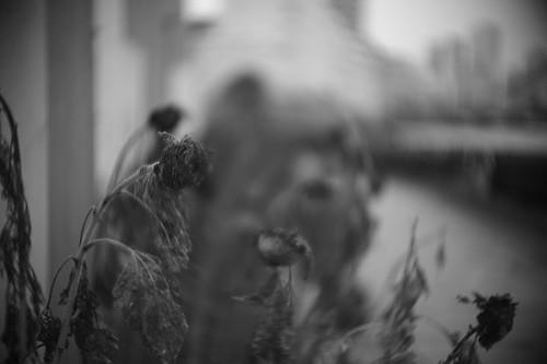 The dead sunflower