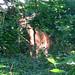 20170602 0938 - deer in our yard - 093805
