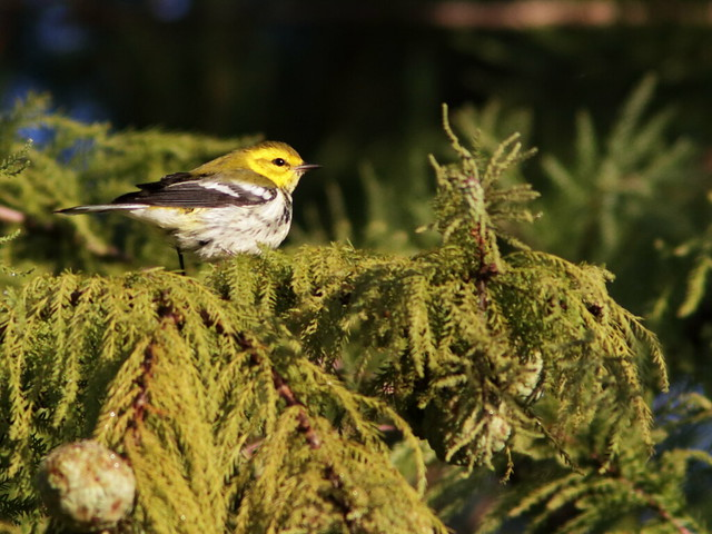 Black-throated Green Warbler 01-20171009