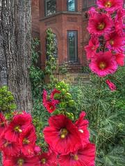 Toronto Ontario ~ Front Yard Garden ~ Hollyhock Flowers