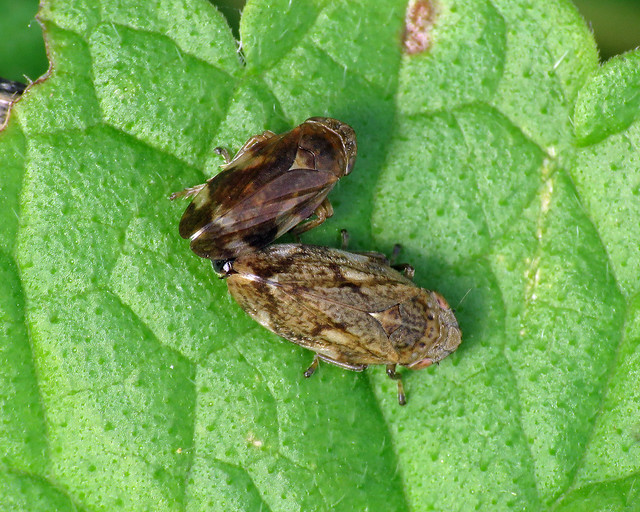Common Froghopper - Philaenus spumarius